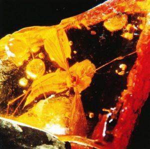 Mücke aus der Familie Tipulidae (Schnaken) als Inkluse in Niederlausitzer Bernstein (Tagebau Schlabendorf-Süd) Foto: KLUTENTRETER