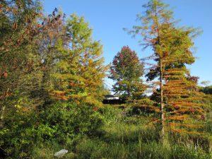 Im herbstlichen Tertiärwald: Sumpfzypressen, hinten Mammutbaumstubben, Amerikanische Amberbäume