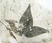 Fossiles Amberbaumblatt