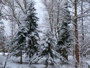 Küstenmammutbäume im Winter