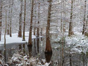 Sumpfzypressen im Winter