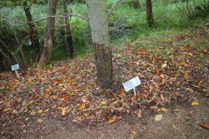 Amerikanische Rotbuche Fagus grandifolia mit Biberschutz