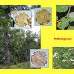 """Vortrag """"Tertiäre Wälder: Ein vergleichender Blick auf die Südhemisphäre"""", Nothofagaceae"""