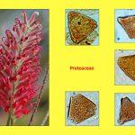 """Vortrag """"Tertiäre Wälder: Ein vergleichender Blick auf die Südhemisphäre"""", Proteaceae"""