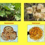 """Vortrag """"Tertiäre Wälder: Ein vergleichender Blick auf die Südhemisphäre"""", Gunneraceae, Asteraceae"""