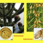 """Vortrag """"Tertiäre Wälder: Ein vergleichender Blick auf die Südhemisphäre"""", Araucariaceae, Cupressaceae"""