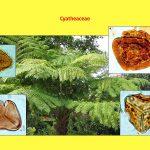 """Vortrag """"Tertiäre Wälder: Ein vergleichender Blick auf die Südhemisphäre"""", Cyatheaceae"""