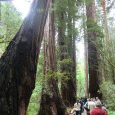 """Vortrag """"Rote Riesen – Mammutbäume an der Westküste Nordamerikas"""""""
