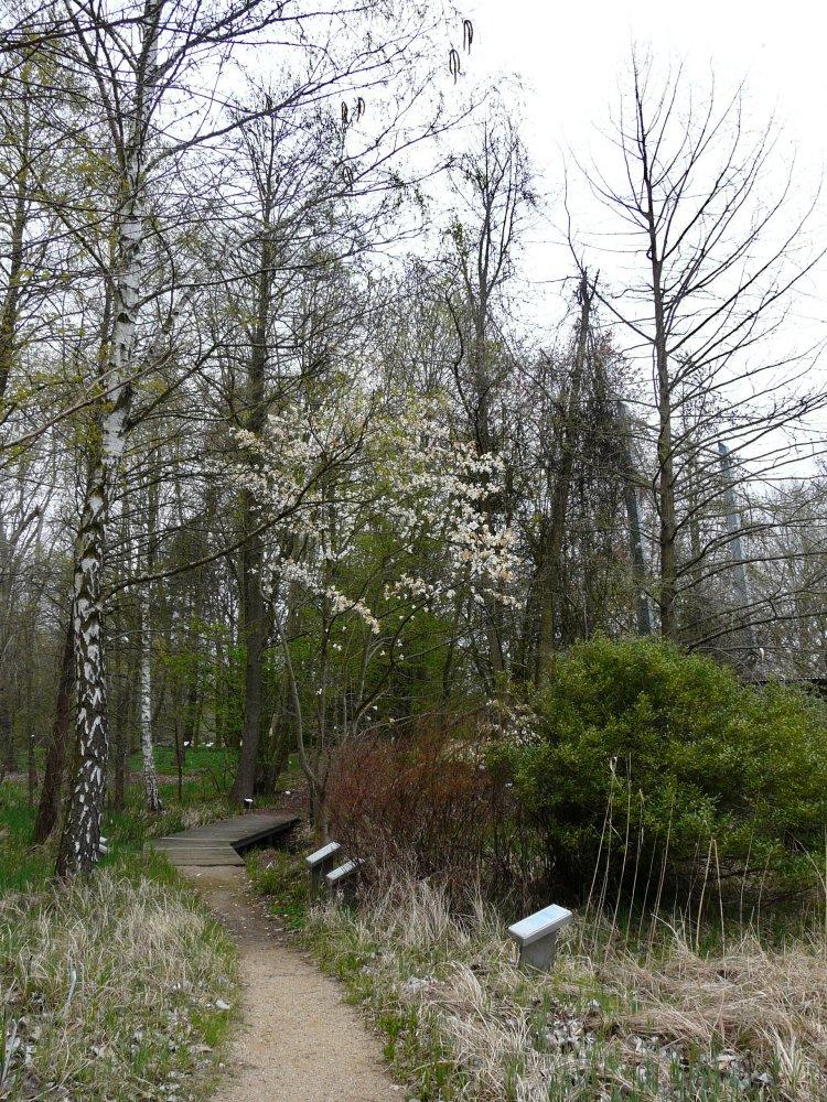 Blühende Gehölze aus Japan: Kobushi-Magnolie