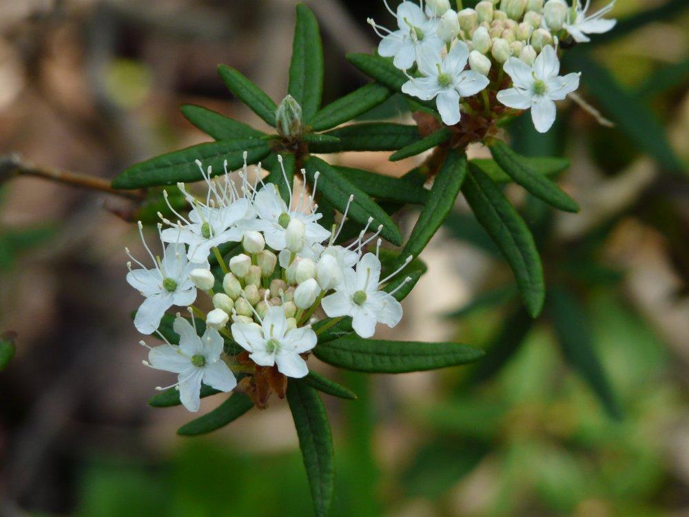 Sumpf-Porst-Blüten im Moorgebüsch