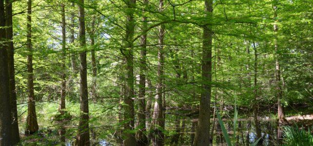 Der Tertiärwald im Mai