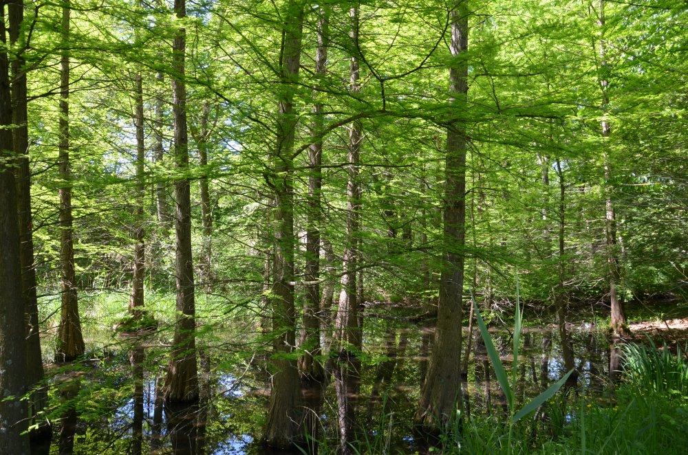 Sumpfzypressen mit zartem Grün im Sumpfwald