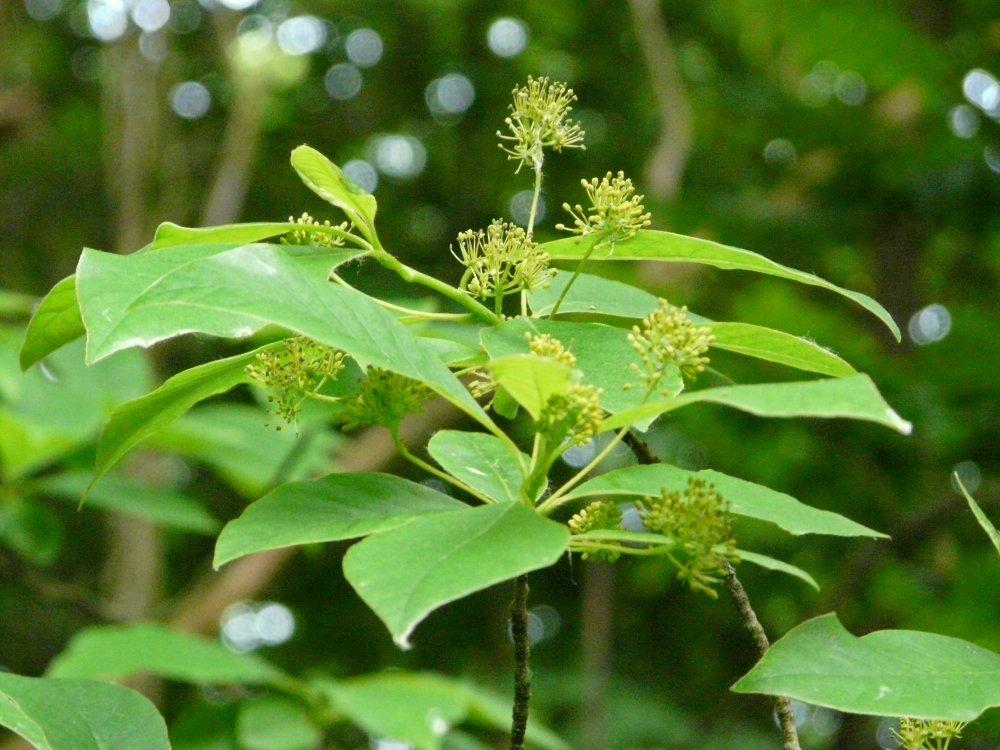 Tupelobaum aus Nordamerika im Sumpfwald mit männlichen Blüten