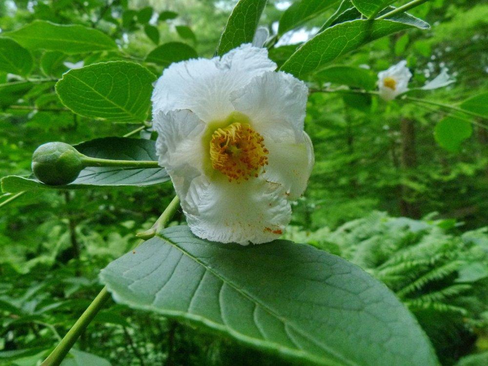 Das Teebaumgewächs Scheinkamellie aus Japan blüht zum ersten Mal
