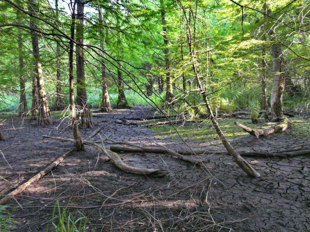Wegen der großen Trockenheit ist der Sumpfwald zeitweise ausgetrocknet