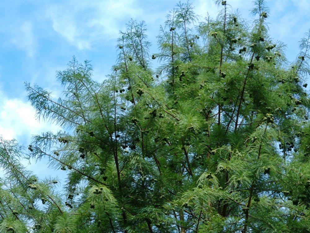 Sumpfzypresse aus Nordamerika mit Zapfen