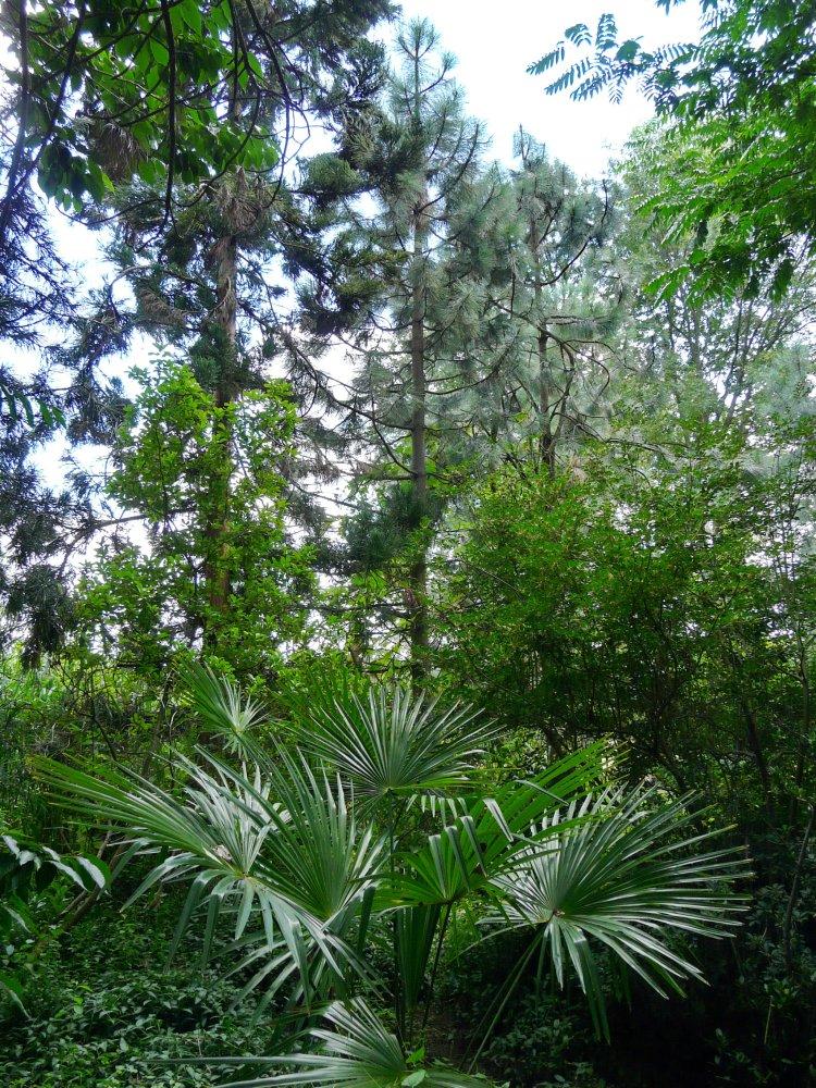 Das Kiefern-Waldmoor mit Palmen, eine Waldgesellschaft, die auch zur Braunkohlenbildung beigetragen hat.