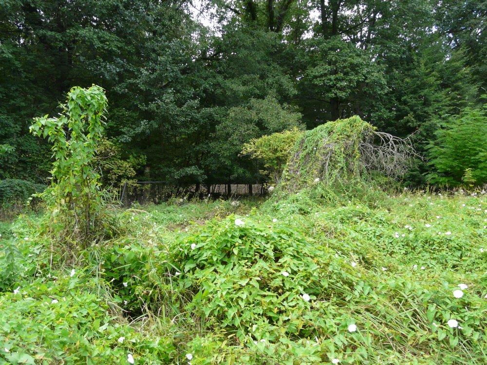 Die Zaunwinde überwuchert das offene Gelände im Auwald.