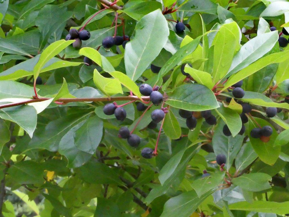 Am Tupelobaum reifen Früchte heran (Familie Teebaumgewächse, Heimat östliches Nordamerika)