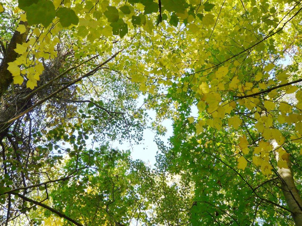 Blick in das Blätterdach des Auwaldes mit den gelappten Blättern von Amberbaum und Ahorn.
