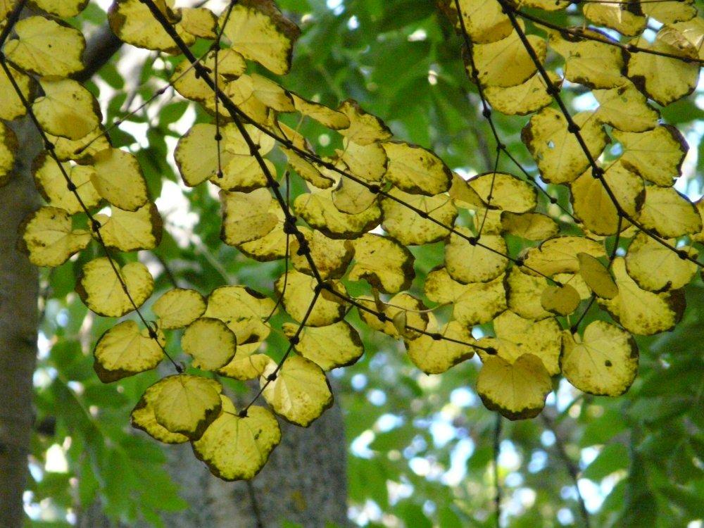 schon von weitem leuchten die gelben Blätter des Kuchenbaums, die jetzt ihren Duft nach frischem Kuchen verströmen