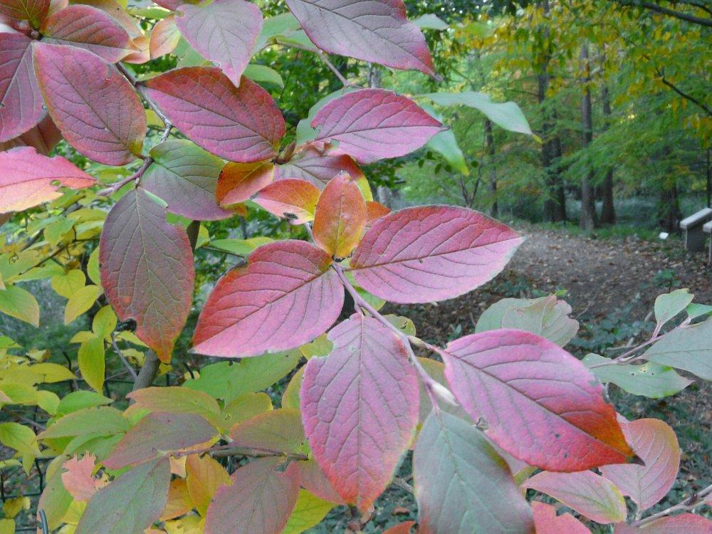 Herbstliche Blätter des Teebaumgewächses Scheinkamellie aus Japan
