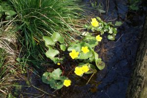 Sumpf-Dotterblume