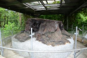 Mammutbaumstubben